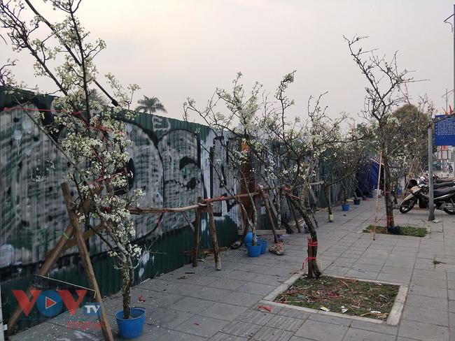 Hoa lê rừng đổ bộ xuống phố phục vụ người dân Thủ đô chơi Xuân - Ảnh 12.