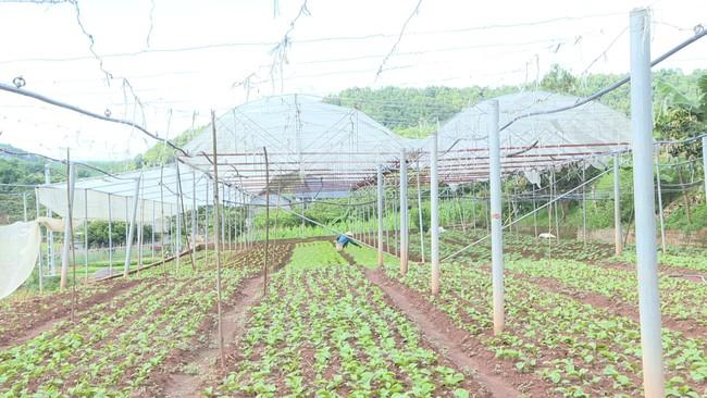 Rau trái vụ - Hướng đi hiệu quả cho người nông dân Mộc Châu  - Ảnh 2.