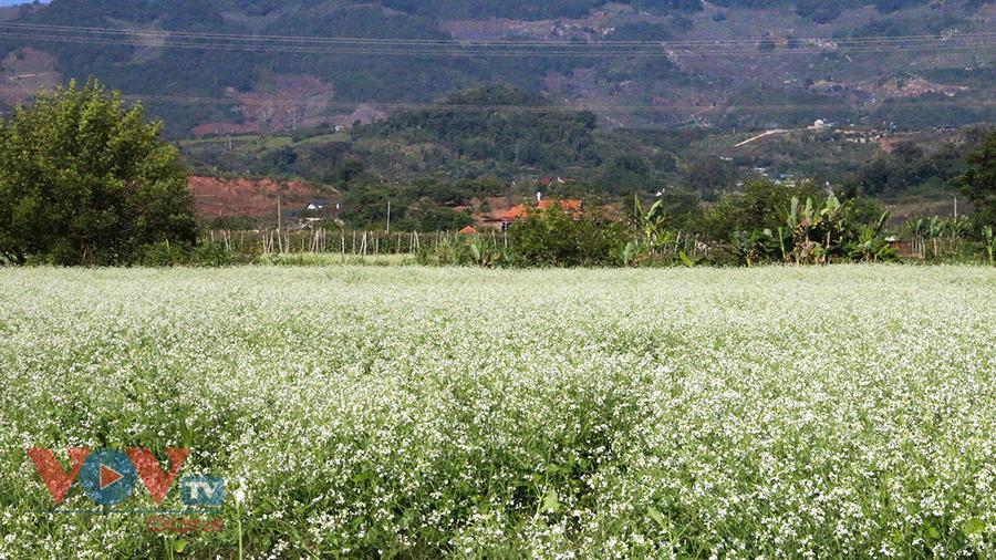 Đến cao nguyên Mộc Châu để hoà mình vào mùa hoa cải trắng