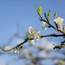 3. Dù trong nắng sớm hay chiều tà, hoa mơ, hoa mận vẫn khoe sắc trắng tinh khôi