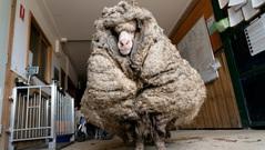 Giải cứu chú cừu khỏi bộ lông nặng hơn 35 kg
