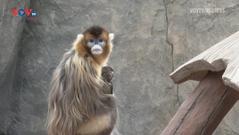 Trung Quốc: Ngắm vẻ đáng yêu của vọoc mũi hếch vàng quý hiếm mới chào đời