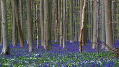 Chiêm ngưỡng vẻ đẹp cổ tích của thảm hoa chuông trong rừng cổ thụ Hallerbos