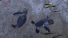 Nỗ lực bảo tồn rùa biển tại đảo Cù Lao Chàm
