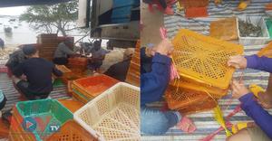 Công ty TNHH Anh Nhân - Nhà máy Hoàng Anh 'bỏ qua' khâu kiểm định chất lượng tôm hùm để xuất khẩu sang Trung Quốc?