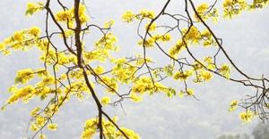Quảng Ninh: Đẹp nao lòng với 'đại lão mai vàng' trên non thiêng Yên Tử