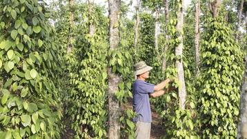 """""""Giải cứu"""" thành công 62 công hàng hồ tiêu của doanh nghiệp Việt Nam mắc kẹt tại Nepal"""
