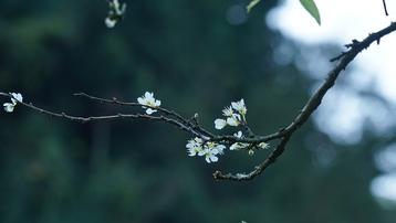 """""""Phát cuồng"""" vì hoa mận Mộc Châu"""