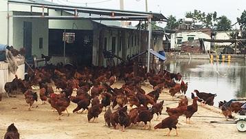 Tiêu hủy gần 1.000 con gà nhiễm cúm gia cầm H5N6 tại Quảng Ninh