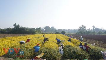Làng Nghĩa Trai vàng óng vào mùa thu hoạch hoa cúc chi