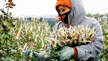 """Làng hoa lâu đời nhất Hà Nội """"hối hả"""" vào vụ Tết"""