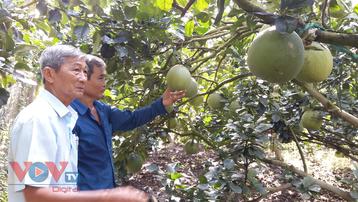 Tiền Giang: Nhà vườn 'méo mặt' vì nhiều loại trái cây rớt giá