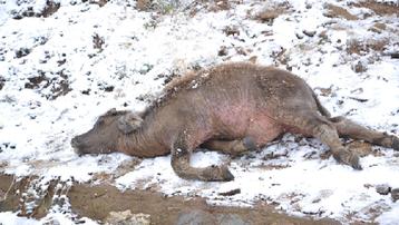 Sơn La: Nhiều gia súc chết do rét đậm, rét hại