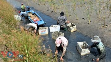 Cà Mau: Rộn ràng mùa tôm càng xanh trên đất lúa
