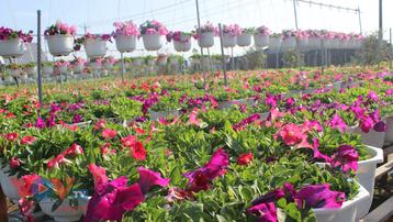 Làng hoa hơn 100 tuổi Sa Đéc tất bật vụ hoa Tết