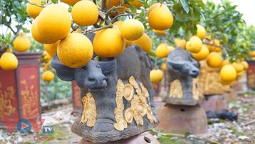 Tết Tân Sửu: Độc đáo cây cảnh 'trâu cõng bưởi'