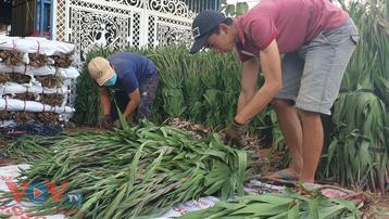Hoa lay ơn rớt giá thảm hại ở Phú Yên