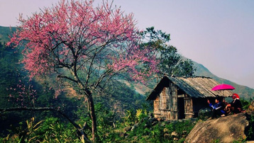 Rực rỡ sắc hoa đào núi tuyệt đẹp ở Sa Pa