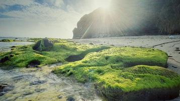 Vẻ đẹp mê hoặc lòng người của 'cánh đồng rêu' ở Lý Sơn