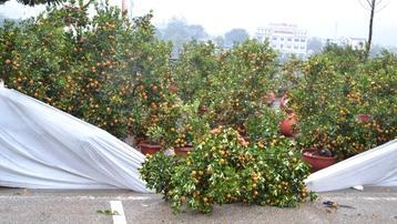 Covid-19 lại thêm mưa dông phá hại, tiểu thương chợ hoa xuân Lào Cai lao đao
