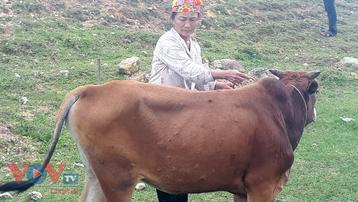 Quảng Bình: Bệnh viêm da nổi cục trên trâu, bò lây lan nhanh khó kiểm soát