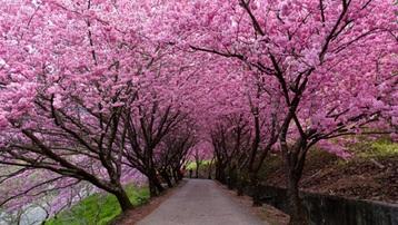 Rừng hoa anh đào rộng 2,7 triệu mét vuông nở rộ ở Trung Quốc