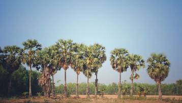 Tây Ninh: Ngọt ngào thốt nốt vùng biên
