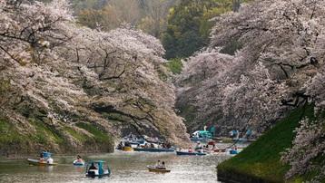 Hoa anh đào nở rộ khắp Nhật Bản