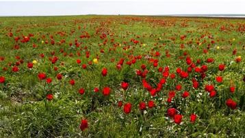 Hoà cùng sắc màu thảo nguyên Kalmykia tại lễ hội hoa tulip
