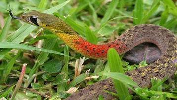 TPHCM: Một bé gái 15 tháng tuổi bị rắn cổ đỏ cắn tử vong