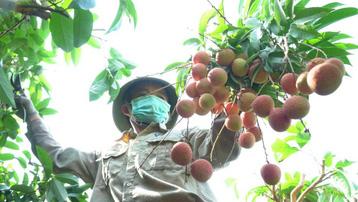 Bắc Giang: Vải thiều bị ép giá xuống 2.000 đồng/kg là không đúng sự thật