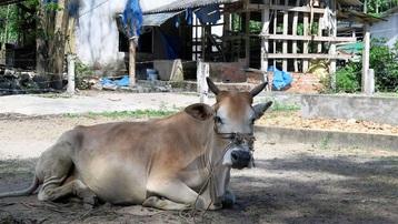 Quảng Ngãi: Hơn 5.300 con trâu, bò bị viêm da nổi cục