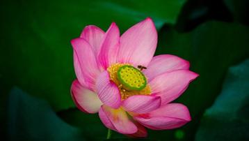 Vẻ đẹp hút mắt ở đầm sen Trà Lý xứ Quảng