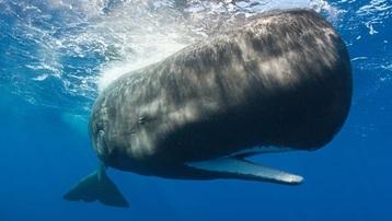 Ngư dân bất ngờ kiếm được 1,5 triệu USD từ bụng một con cá voi