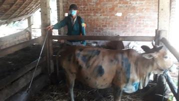Bình Định công bố dịch viêm da nổi cục trên đàn gia súc cấp tỉnh