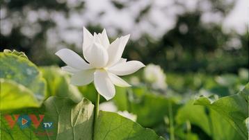 Tinh khôi mùa bạch liên hoa