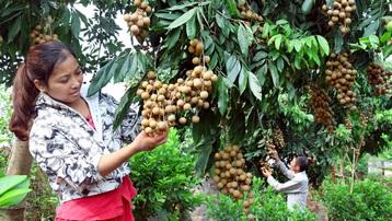 Hỗ trợ tiêu thụ nhãn tại các vùng sản xuất Hà Nội