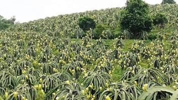 Tuyên Quang: Hiệu quả kinh tế lớn từ phát triển trồng trọt tại huyện Hàm Yên
