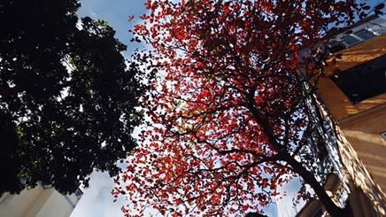 Hà Nội mùa cây bàng mặc áo đỏ
