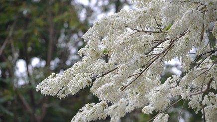 Hà Nội đẹp dịu dàng trong sắc trắng hoa sưa