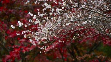 Đến Nhật Bản ngắm anh đào nở giữa mùa thu lá đỏ