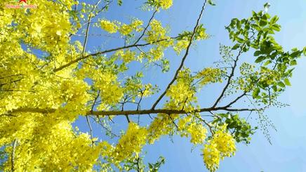 Ngắm Muồng Hoàng Yến rực vàng trên mảnh đất Điện Biên
