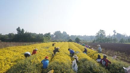 Làng Nghĩa Trai vào mùa thu hoạch cúc chi