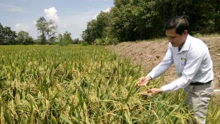 Tiền Giang: Mô hình sản xuất lúa ứng dụng công nghệ cao lợi nhuận mỗi vụ gần 20 triệu đồng/ha