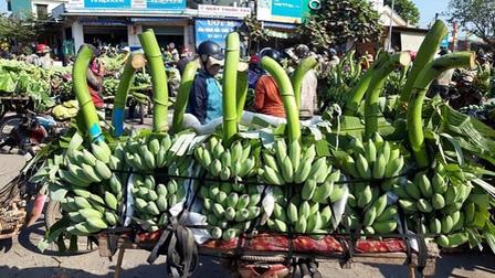 Bỏ 25 triệu đồng mua cả vườn chuối, tiểu thương thắng đậm khi bán dịp Tết
