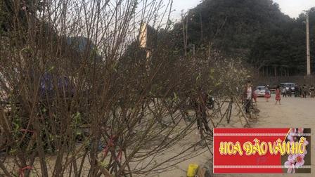 Sơn La: Phát hành tem chứng minh xuất xứ cho cây đào trồng