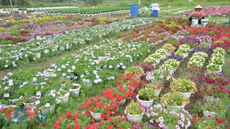 Chùm ảnh: Làng hoa ngoại ô TPHCM tất bật vụ hoa Tết Tân Sửu 2021