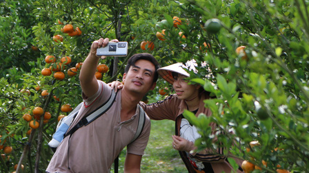 Thăm vườn quýt hồng Lai Vung đang vào mùa chín rộ