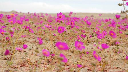 Sa mạc Atacama khô cằn nhất thế giới bỗng nở hoa