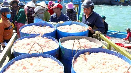 Phú Yên: Trúng ruốc biển, ngư dân bỏ túi tiền triệu mỗi ngày